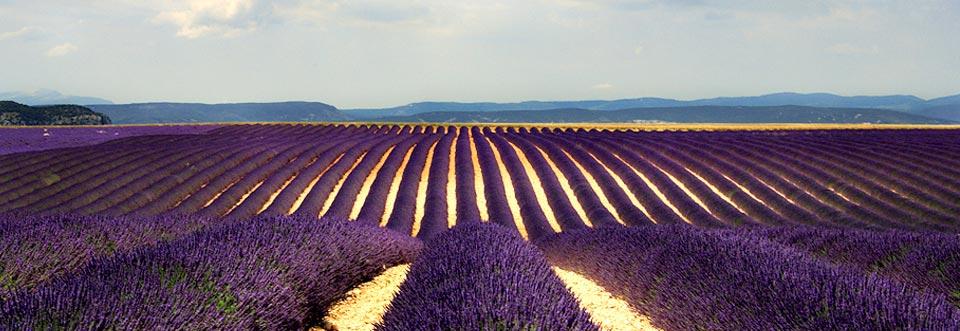Campuri de lavanda in Provence, Franta