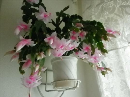 Craciunita alb cu roz
