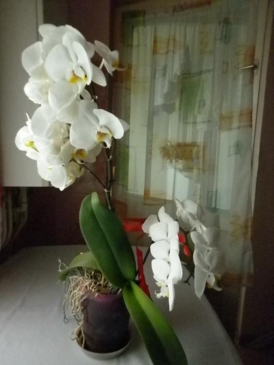orchideea mea